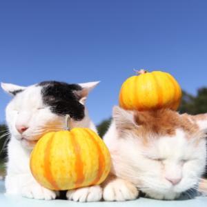 プッチーニをのせた2匹の猫 Cat with pumpkin