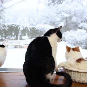 雪の日の窓辺の猫 Cats and  snowy day