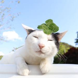 四葉のクローバーをのせ猫