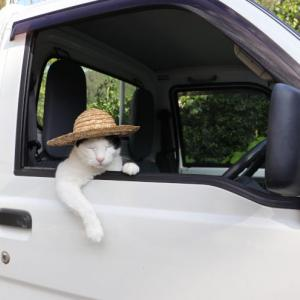 軽トラで麦わら帽子を被った猫