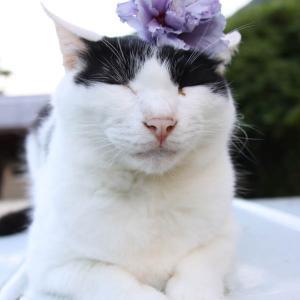 紫八重木槿