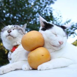 幸水梨のせ猫