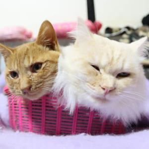 かご猫もふもふちゃとら