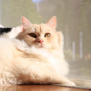 窓辺のもふお Cat by the window