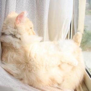 窓辺のもふもふの後ろのちゃとら
