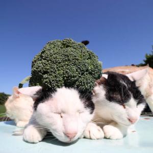 ブロッコリーのせ猫