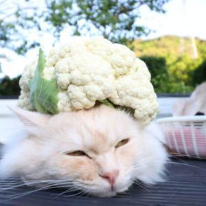 カリフラワーをのせた猫