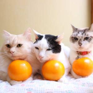 黄色トマトをのせた猫たち