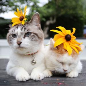ルドベキアをのせた猫
