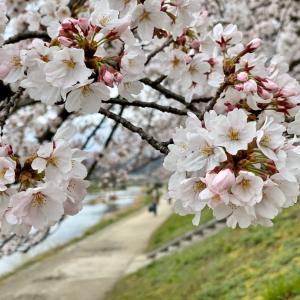 ブログで京都のお花見‼️