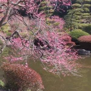 水戸の偕楽園の梅まつり開園