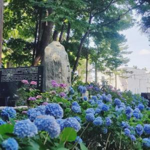 円山公園のあじさい包丁塚~紫陽花は雨がお似合い~