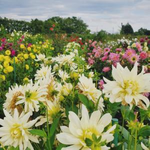 ダリアの花が満開です~百合が原公園②~