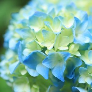 本日七夕⭐️そして、紫陽花