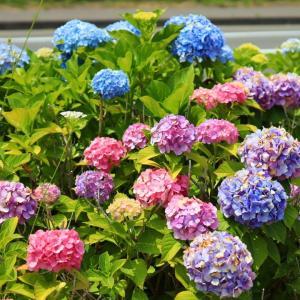 【春日緑地】ポコポコ紫陽花