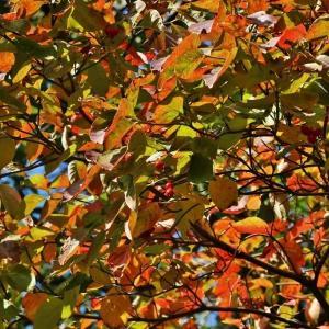 雨上りの花水木の紅葉