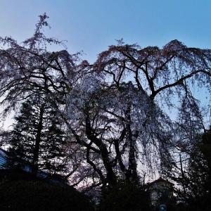 川越中院の枝垂れ桜