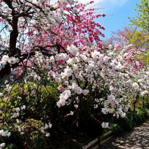 花桃咲く路地
