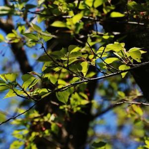 青葉とムクドリ