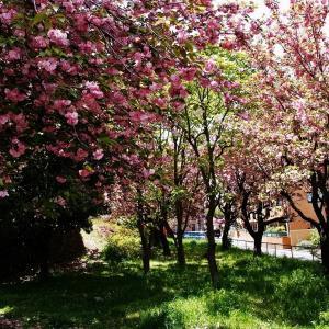 終焉を迎える八重桜