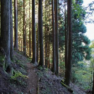 三頭山 モミの巨木