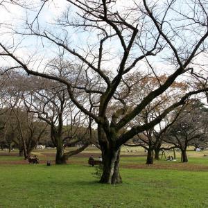 晩秋の枯れ桜