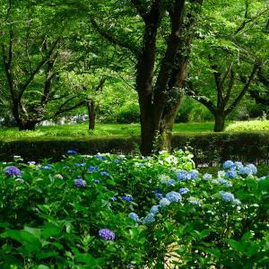 智光山公園に咲く紫陽花