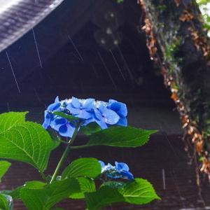 紫陽花と雨