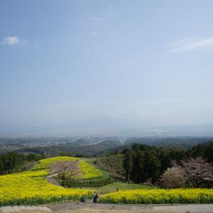 2019.03.28  白木峰の菜の花は満開やっよ!