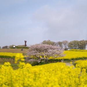 2019.04.07  白木峰の桜と菜の花を撮ってみたよ!