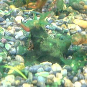 新40cm水槽 – このコケって藍藻か? 駆除方法に知恵を絞ってみた