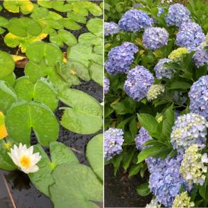 雨の中のアジサイやハスの花も趣があって良き良き。