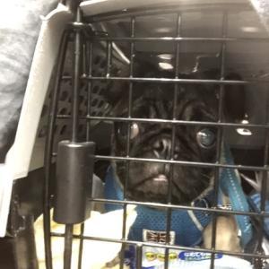 迷子のパグ犬♂保護しています。