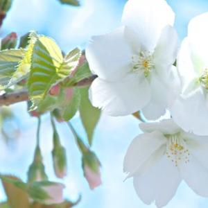 2019年 都内某所の桜開花状況 ~満開はすぐそこ