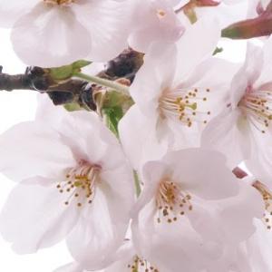 おばニート、平成最後の満開桜を堪能する