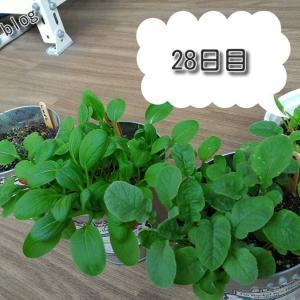 バルコニー菜園【28日目】