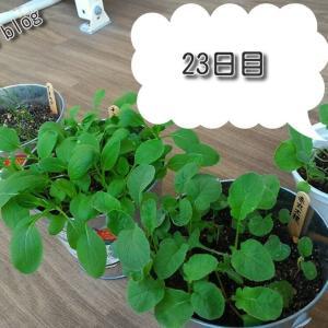 バルコニー菜園【23日目】
