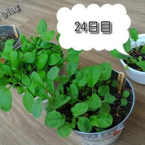 バルコニー菜園【24日目】