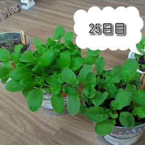 バルコニー菜園【25日目】