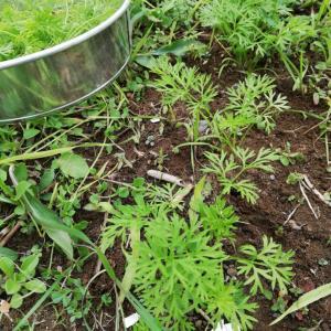 にんじん間引き菜の使い方