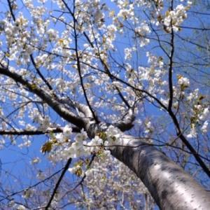 夕日を浴びる白い桜
