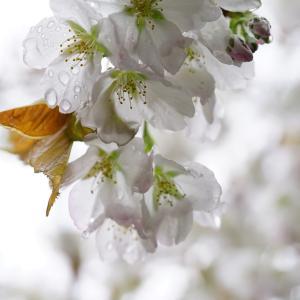 雨に濡れた山桜&タチツボスミレ