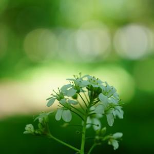 以前に石狩の砂丘に咲いていた花が