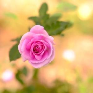 大通り公園の薔薇