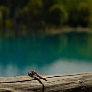 青い池の赤とんぼ