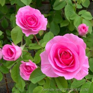 プロが選んだ香りのバラ 〜まつおえんげい〜