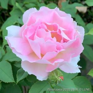 ペネロペイア 〜桃の香りに近い〜