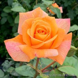 ディオラマ 〜2番花も強香〜