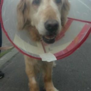愛犬シェラ退院!