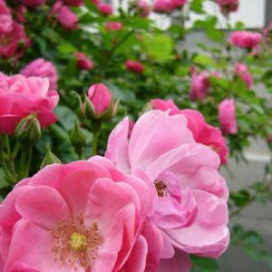 「薔薇」の歌詠